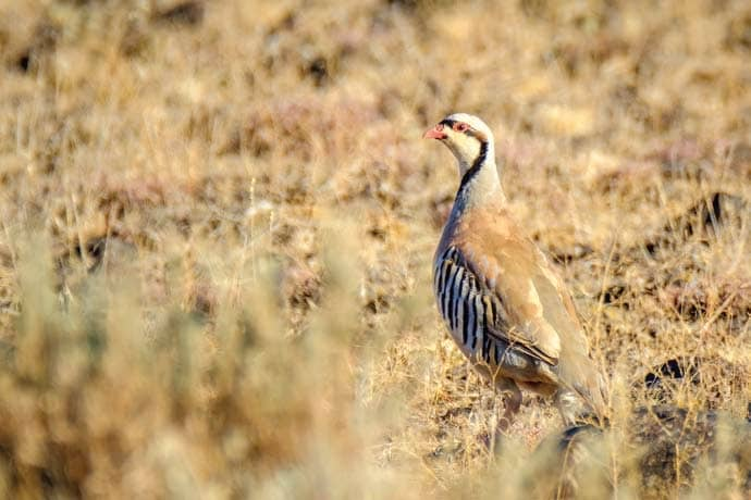 Look quickly, a Chukar won't linger for long